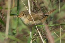 wetlands reed warbler