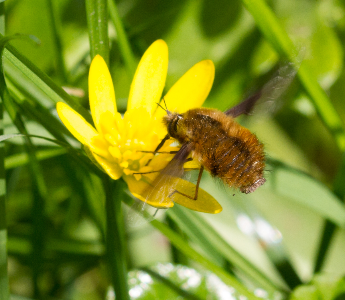 Buttercup and beefly