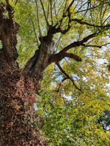 Abbey Gardens, Black poplar Bury St Edmunds