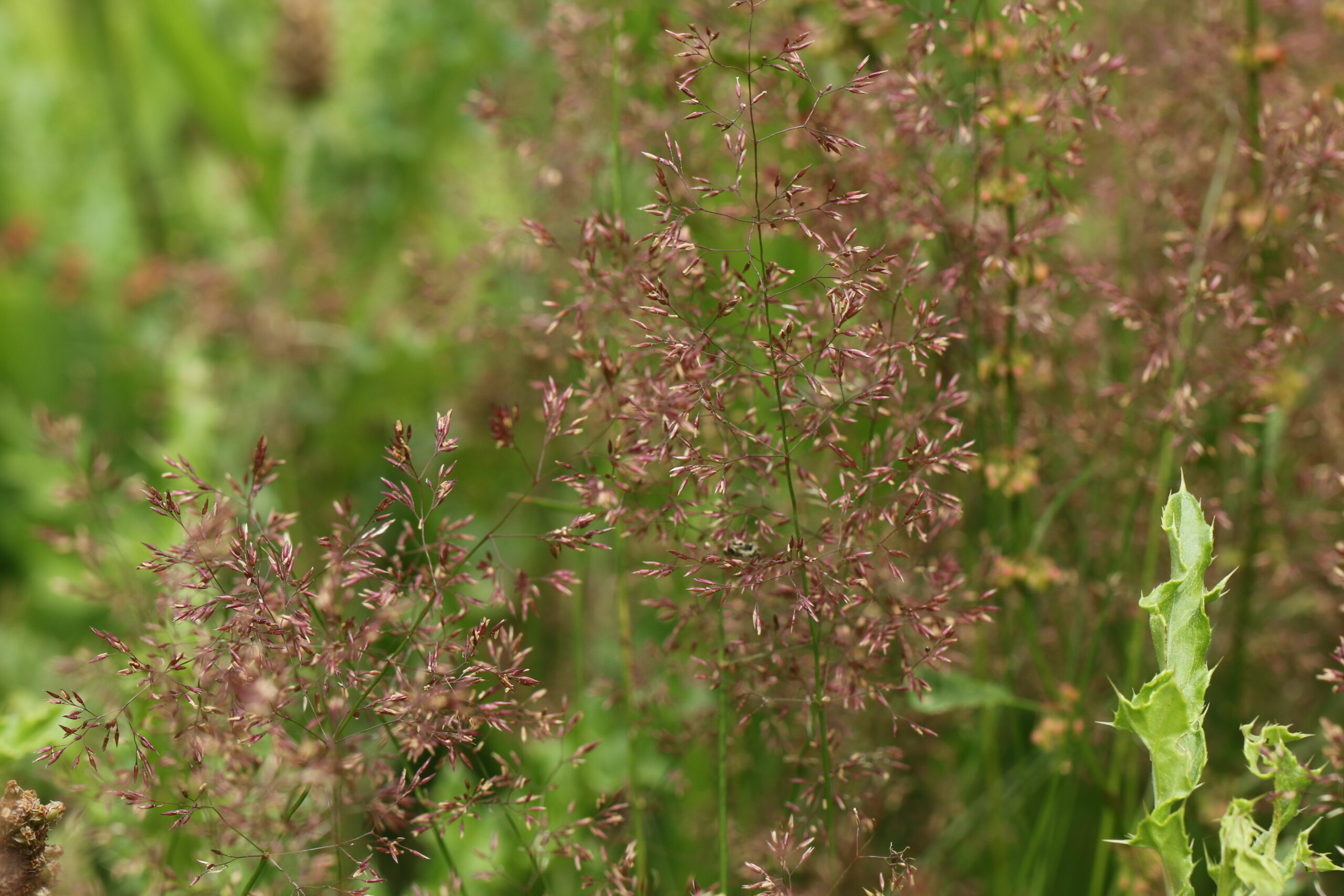 grassland, acid grassland