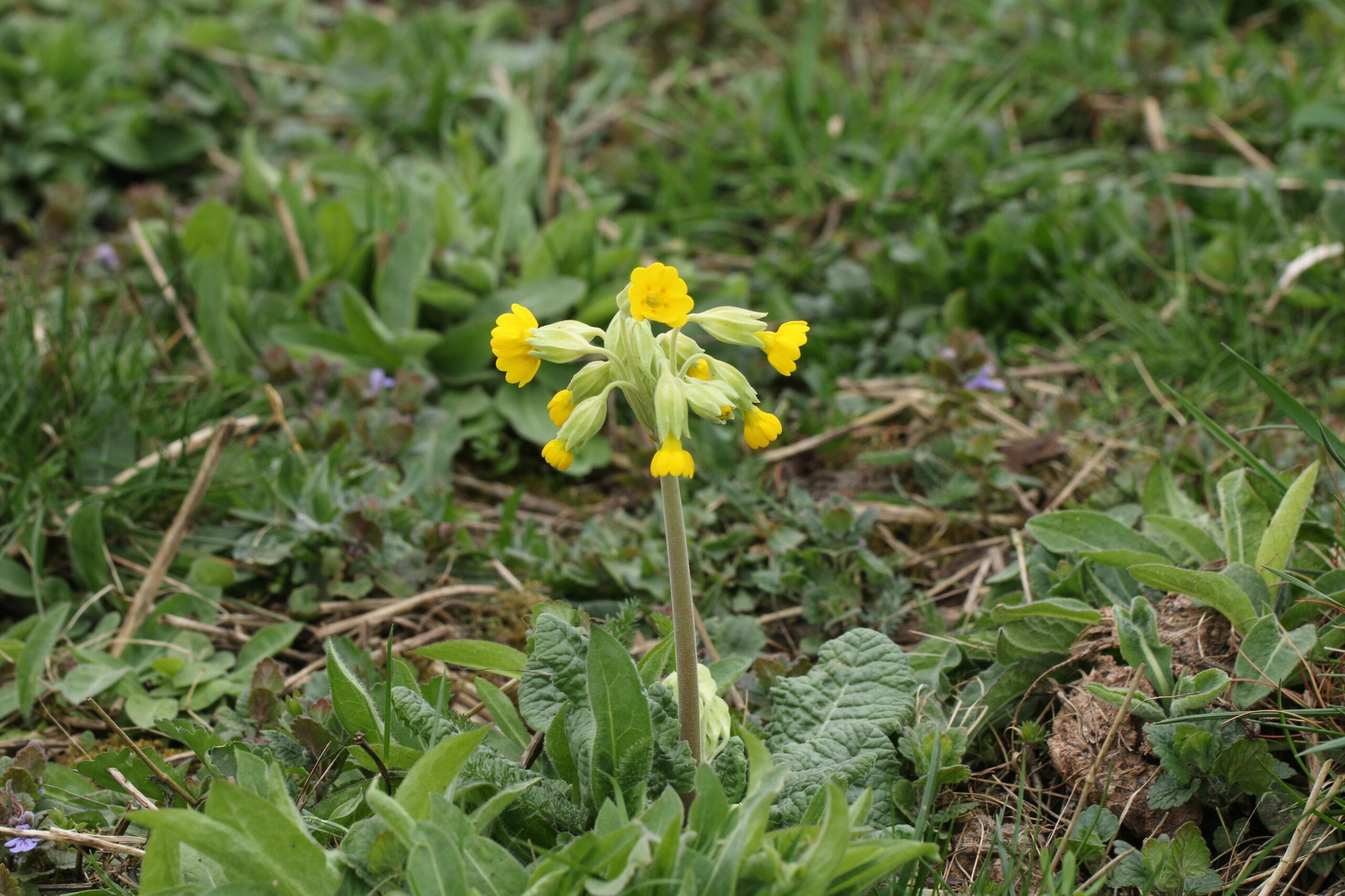cowslips, water meadows, floral diversity, wildflowers, The Crankles, Bury Water Meadows Group, Bury St Edmunds,