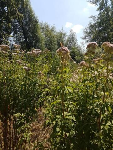 hemp agrimony wildflower pollinator River Lark The Crankles Bury Water Meadows Group, Bury St Edmunds