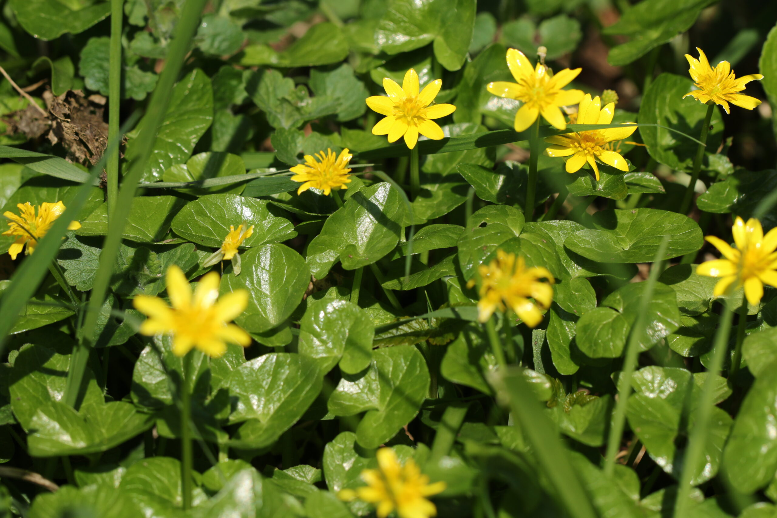 lesser celandine, the Crankles, Bury Water Meadows Group, Water Meadows, Floodplains, wildflowers, early colour in the meadows, Bury St Edmunds, floral diversity,