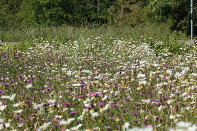 knapweed oxeye daisy, The Crankles, wildflowers, floral diversity, meadows, Bury water Meadows Group, Bury St Edmunds